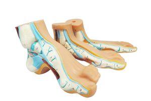 Anatomisch model normale voet, platvoet en boogvoet ST-ATM 109