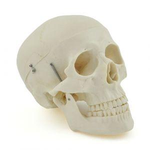 Anatomisch model schedel ST-ATM 013