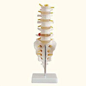 Anatomisch model levensgrote lumbaal met sacraal en stuitbeen ST-ATM 34
