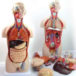 Anatomisch model torso, 85 cm, 13 onderdelen ST-ATM 047
