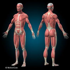 Compleet figuur, beide geslachten, met spieren 45-delig ST-ATM 049