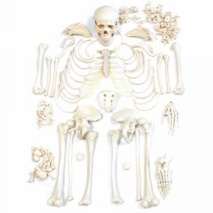 Anatomisch model; ongemonteerde skeletset ST-ATM 10