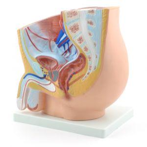 Anatomisch model mannelijke bekken met geslachtsdeel ST-ATM 100