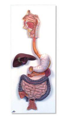 Anatomisch model spijsverterings stelsel ST-ATM 111