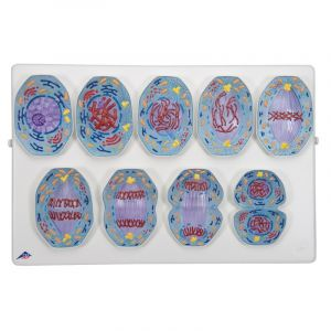 Mitose model (9 fasen zoogdiercel) ST-ATM 119