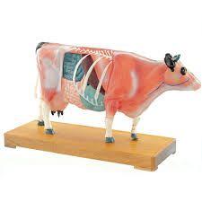 Anatomisch model koe met accupuntuur punten ST-ATM127