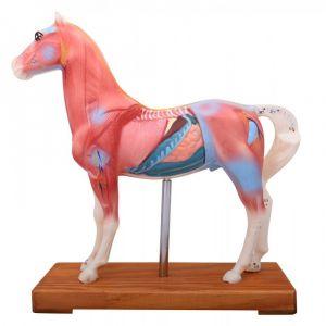 Anatomisch model paard met accupuntuur punten ST-ATM128