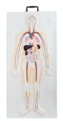 Anatomisch model 3D wandplaat zenuwstelsel  (met stevige handgreep)  ST-ATM 140
