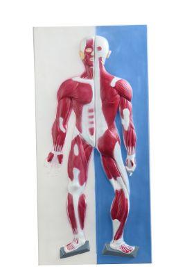 Anatomisch model spieren 3D wandplaat  (met stevige handgreep) ST-ATM146
