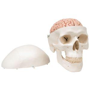 Anatomisch model schedel met hersenen ST-ATM 15