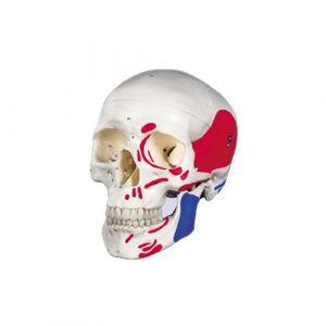 Anatomisch model schedel met gekleurde spieren ST-ATM 16