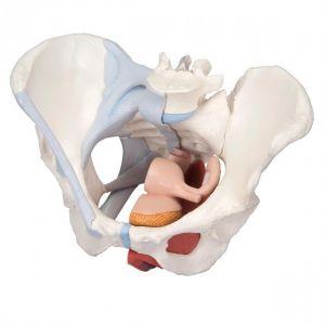 Anatomisch model vrouwelijke bekken met spieren en organen ST-ATM 37