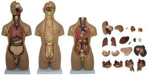 Anatomisch model torso 55 cm, 20-delig ST-ATM 51