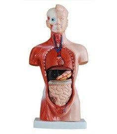 Anatomisch model torso, 26 cm, 15 onderdelen ST-ATM 055