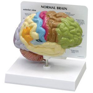 Anatomisch model hersenen in kleur ST-ATM 58