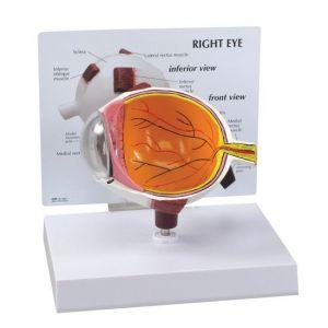 Anatomisch model half oog ST-ATM 65