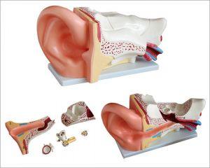 Anatomisch oormodel groot ST-ATM 70