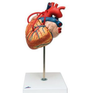 Anatomisch model bypass hart display ST-ATM 74