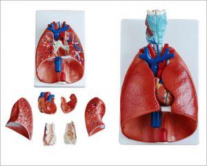 Anatomisch model strottenhoofd, hart en longen ST-ATM 79