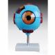 Anatomisch model oogbol ST-ATM 64